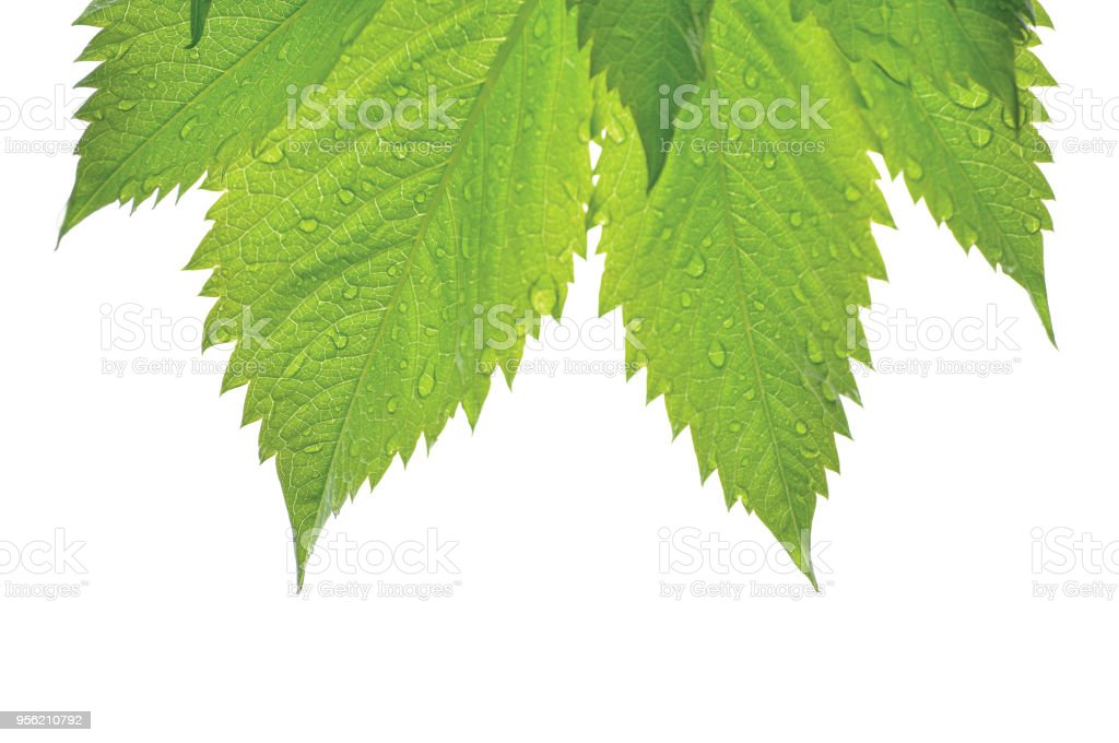 Fresh New Virginia Victoria Creeper Leaf, Isolated Macro Closeup, Early Summer Rain Raindrops, Wet Rainy Day Copy Space Background, Large Detailed Horizontal Parthenocissus Quinquefolia Five-leaved Five-finger Ivy Texture Pattern, Textured Gentle Bokeh stock photo