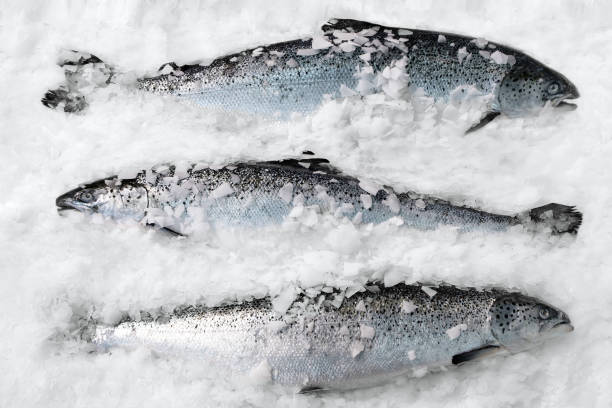 Fresh Norwegian salmon on ice in supermarket Fresh Norwegian salmon on ice in supermarket salmonidae stock pictures, royalty-free photos & images