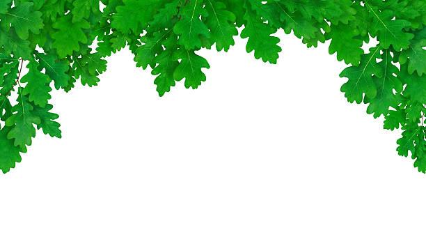 frische oak frame - eichenblatt stock-fotos und bilder
