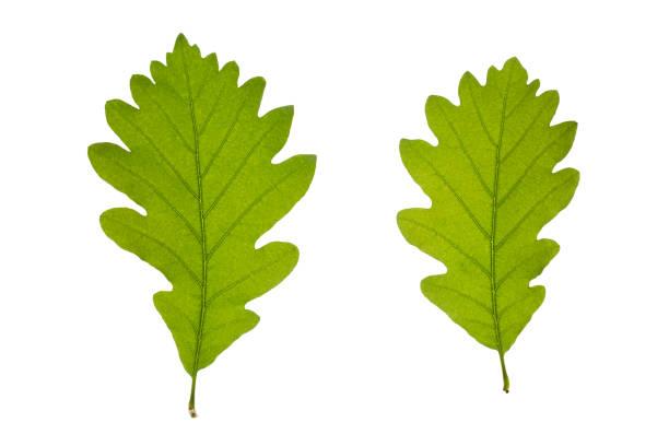 frische eichenblätter - eichenblatt stock-fotos und bilder