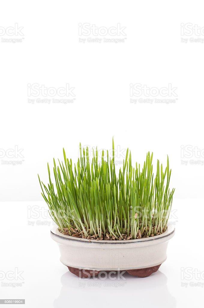 Fresh oat sprouts in bonsai pot. stock photo