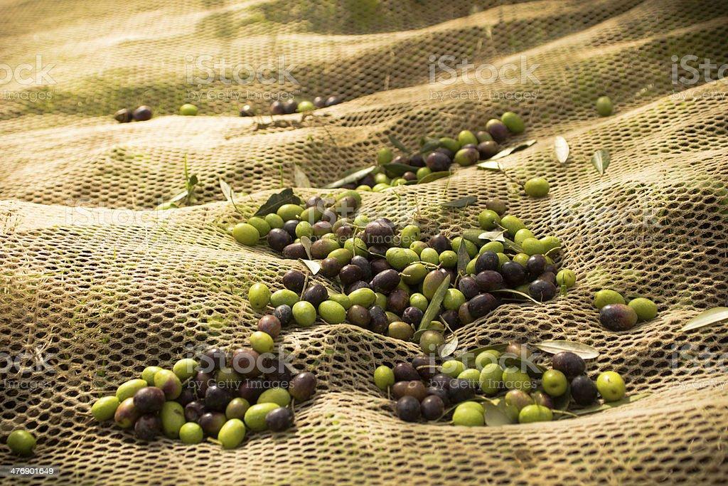 Fresh Olive Harvest stock photo