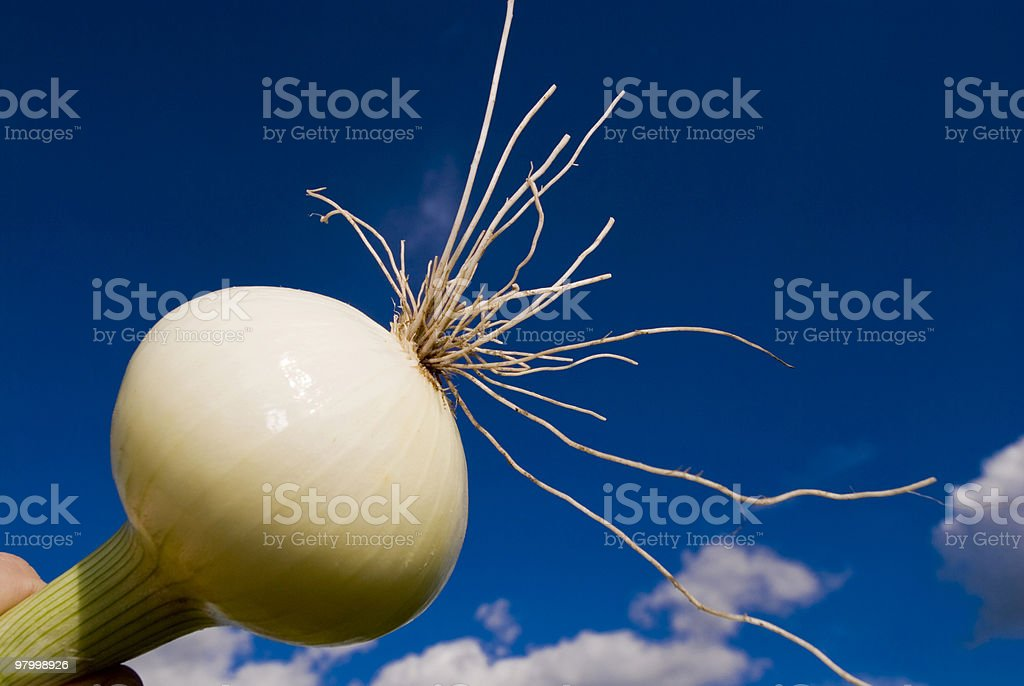 Fresh onion in a blue sky background royalty free stockfoto