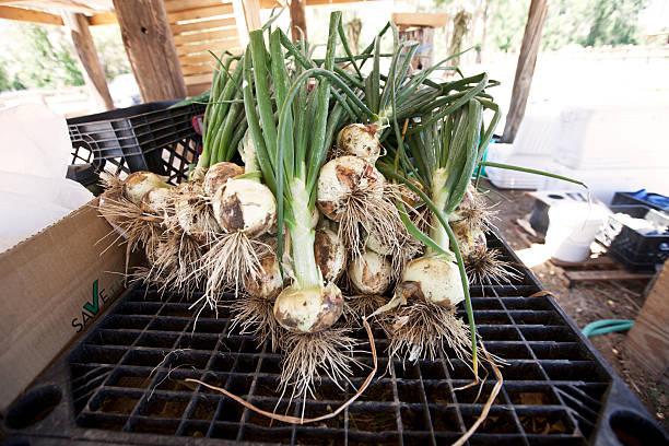 Fresh Onions stock photo