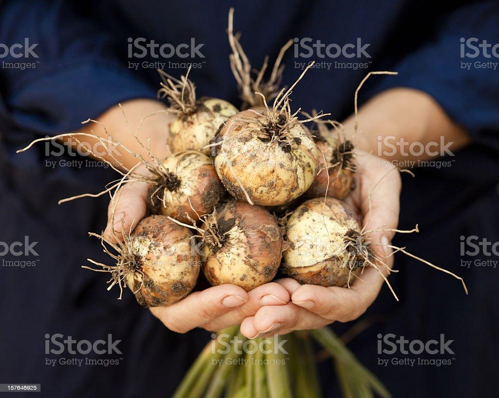 Frische Zwiebeln mit Wurzeln. – Foto