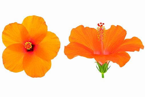 Fresh orange hibiscus flower on white background, top and side view