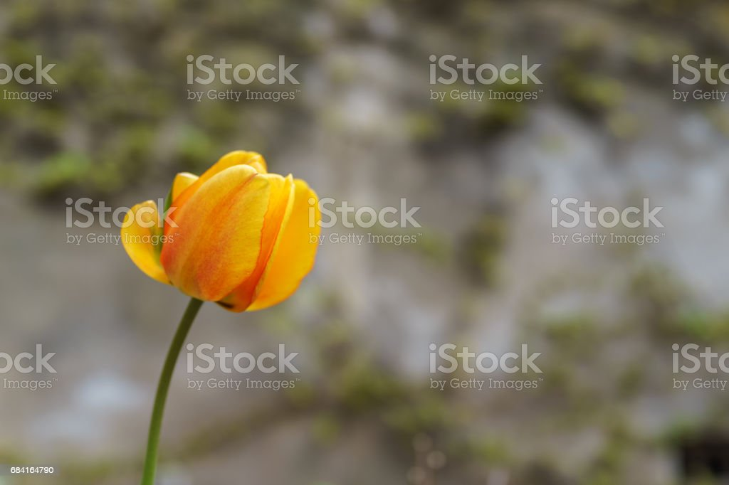 A fresh orange tulip flower in the summer daylight outdoor park royalty-free stock photo