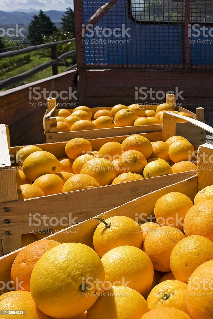 Fresh oranges in farm royalty-free stock photo