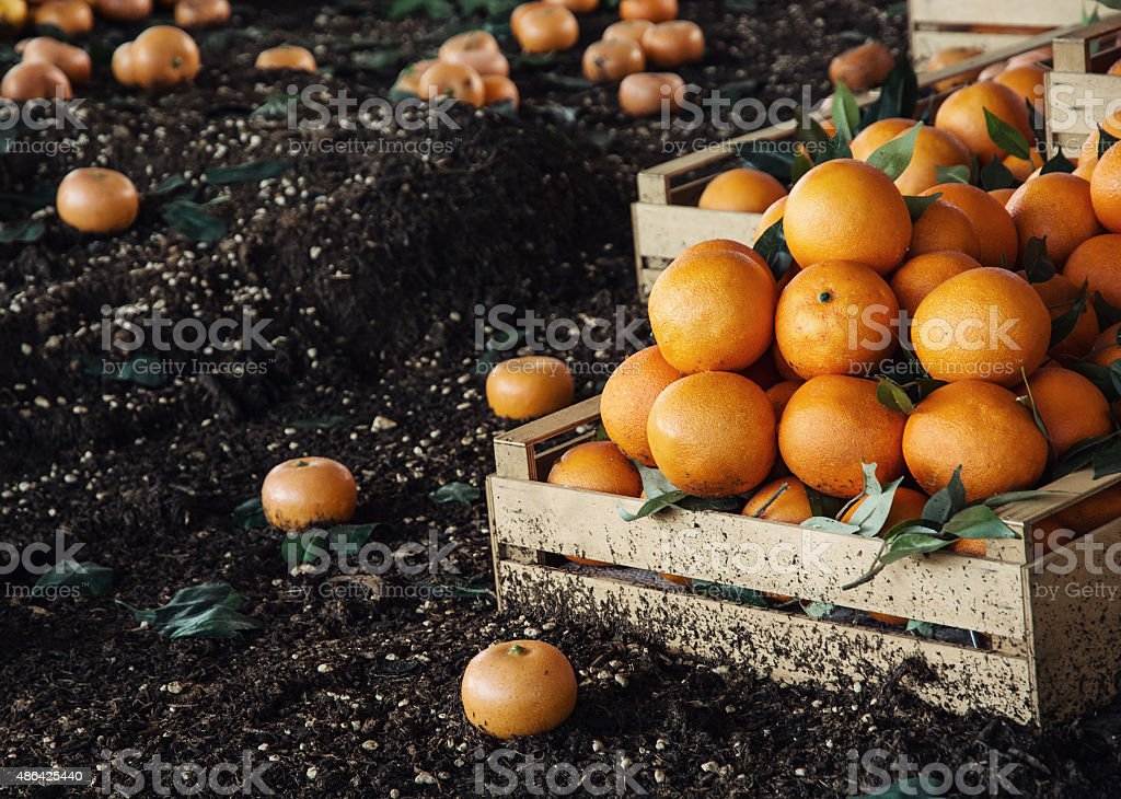 Fresh oranges in the wooden box stock photo