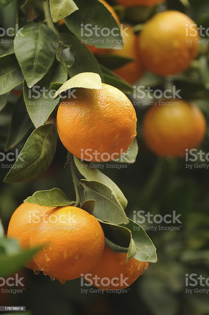 Fresh oranges on the tree royalty-free stock photo