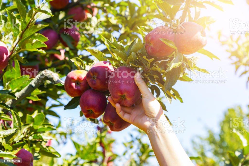 Verse, biologische appel geplukt uit de tak. - Royalty-free Achtergrond - Thema Stockfoto