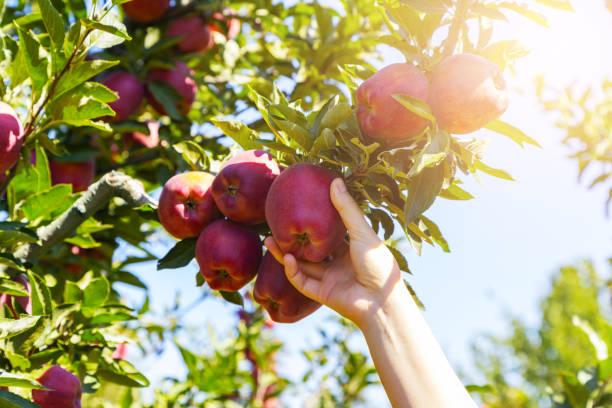 verse, biologische appel geplukt uit de tak. - plukken stockfoto's en -beelden