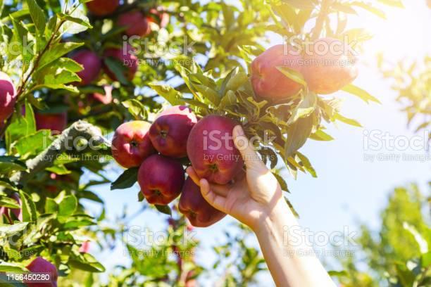 Verse Biologische Appel Geplukt Uit De Tak Stockfoto en meer beelden van Achtergrond - Thema