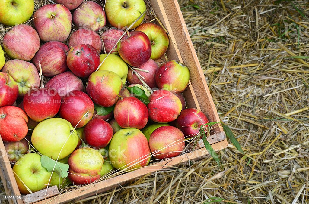 Fresh organic apples in wooden box on a straw background.Autumn harvest concept.Copy space. stock photo
