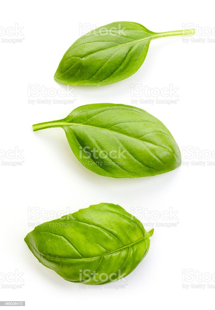 fresh organic basil stock photo