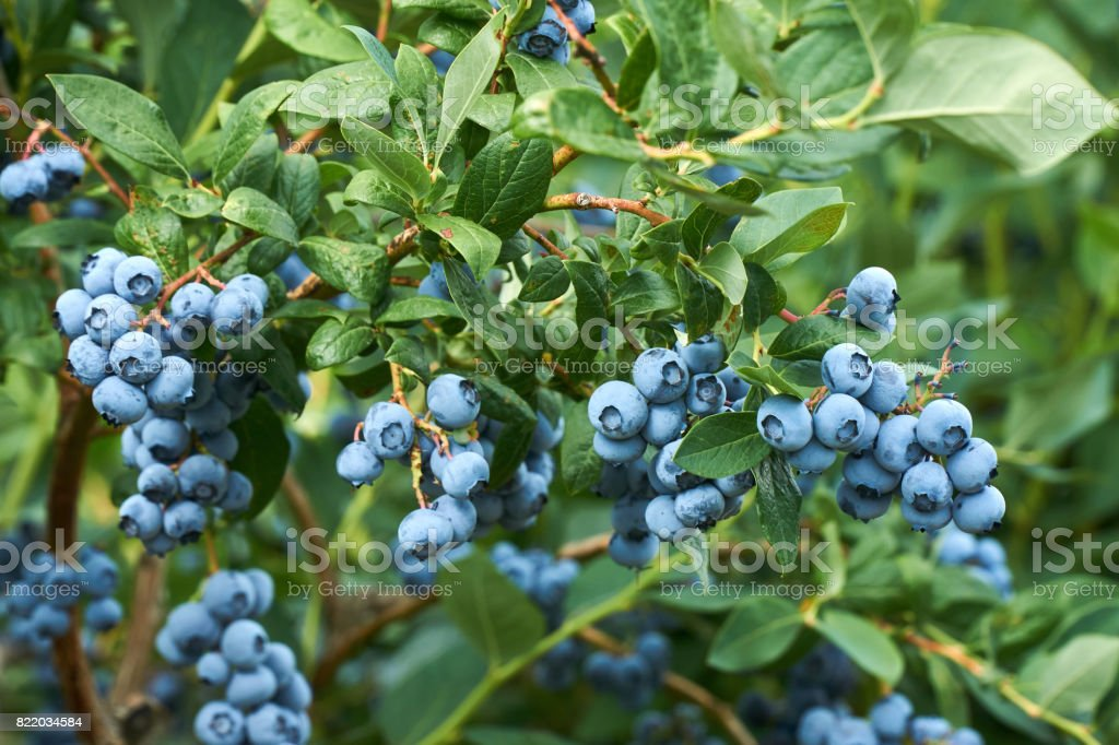 Fresh organic blueberrys on the bush. Vivid colors. stock photo