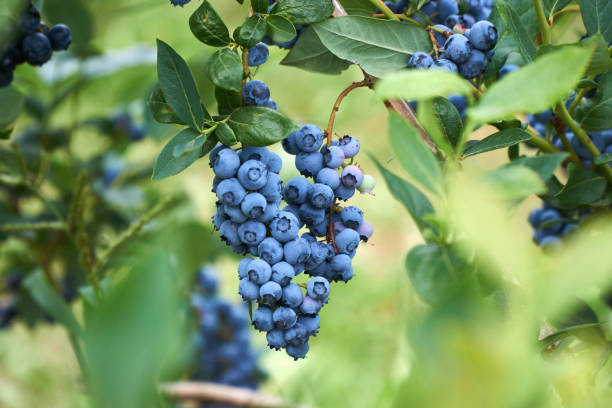 fresh organic blueberrys on the bush. vivid colors. - blueberry stock pictures, royalty-free photos & images