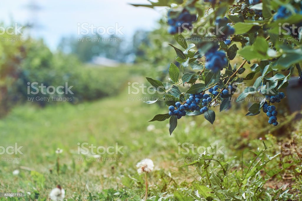 Fresh organic blueberrys on the bush. Vivid colors. With copyspace. stock photo