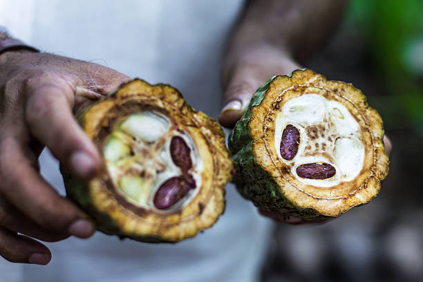 Fresh Organic Cocoa fruit in farmers hands. Cut of cacao fruit. Fresh Cocoa fruit in farmers hands. Organic cacao fruit. Cocoa - healthy food. Cut of cacao fruit. cocoa bean stock pictures, royalty-free photos & images