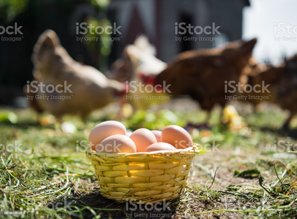 Fresh organic eggs in the basket royalty-free 스톡 사진
