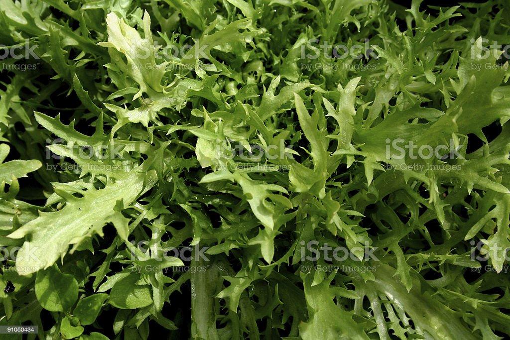 Fresh Organic Frisee Lettuce royalty-free stock photo