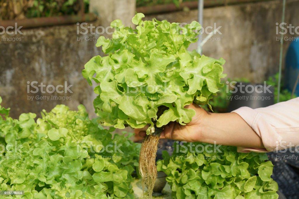 Fresh organic green oak culture in aquaponic or  hydroponic farming. Salad organic hydroponic farm, stock photo