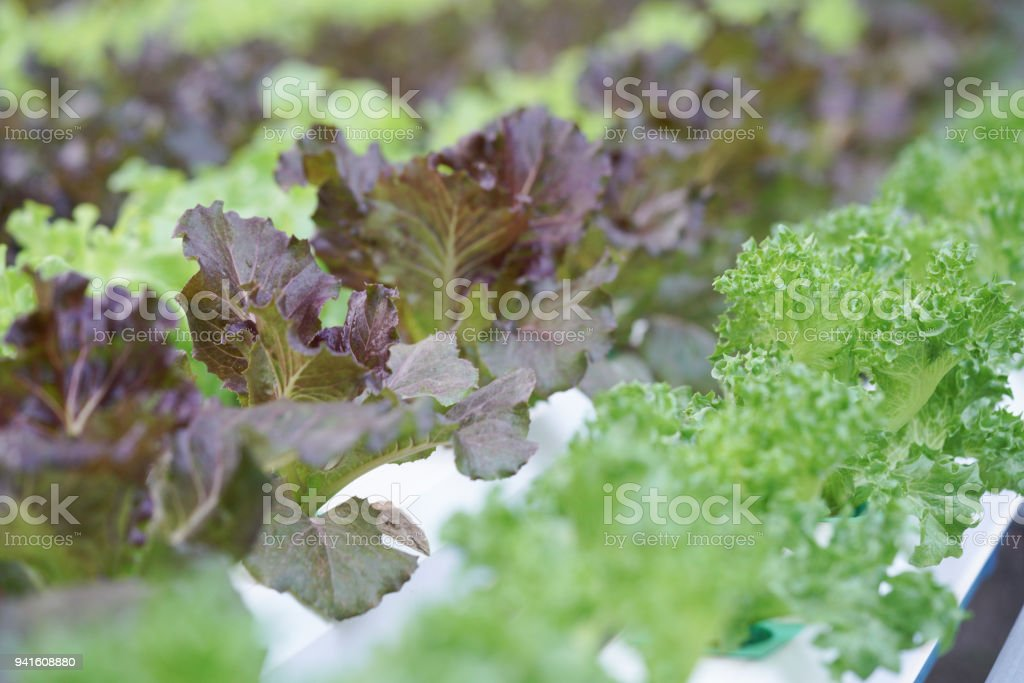 Fresh organic green oak culture in aquaponic or  hydroponic farming. stock photo