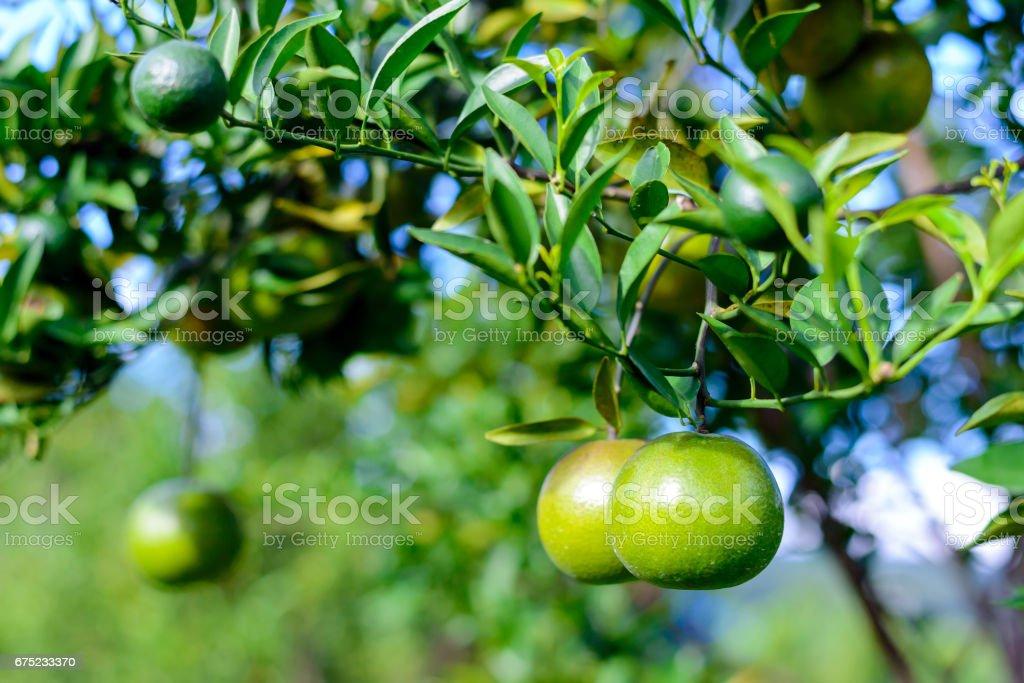 fresh organic green oranges royalty-free stock photo