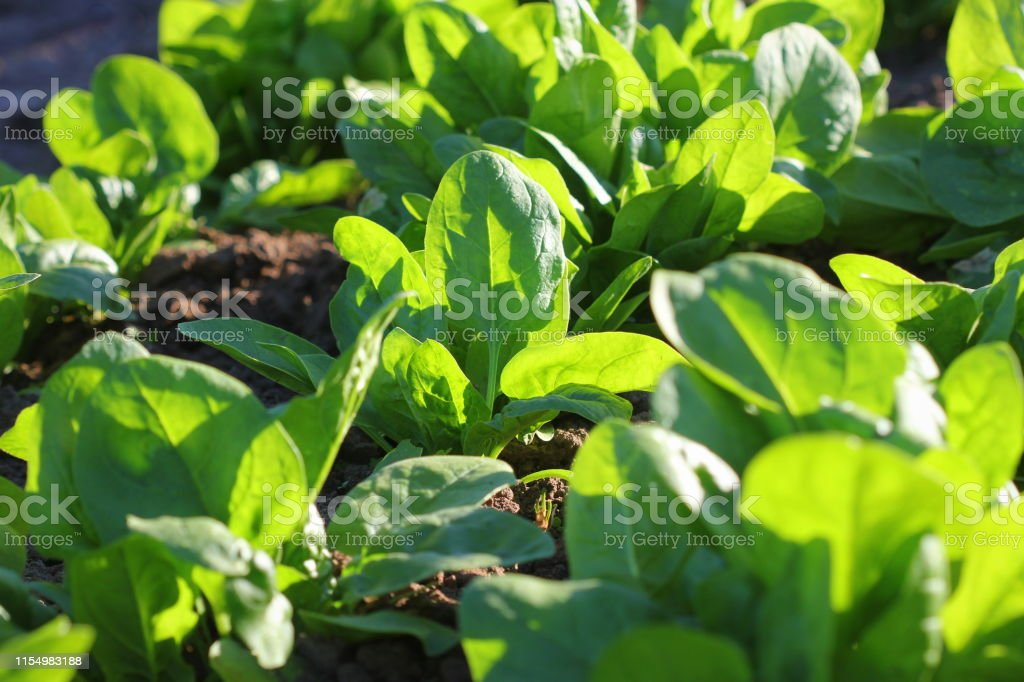 Fresh organic leaves of spinach in the garden Fresh organic leaves of spinach in the garden . Agricultural Field Stock Photo