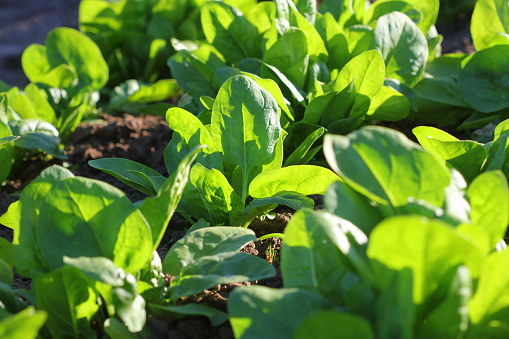 Fresh Organic Leaves Of Spinach In The Garden Stock Photo - Download Image Now