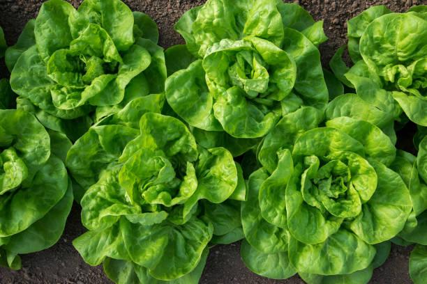Frischer Biosalat, der im Gewächshaus wächst - flach liegend, selektiver Fokus – Foto