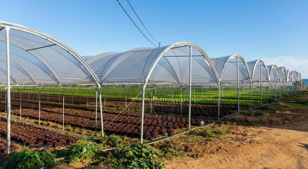 Plantones de Lechuga orgánica fresca en invernadero al aire libre - foto de stock
