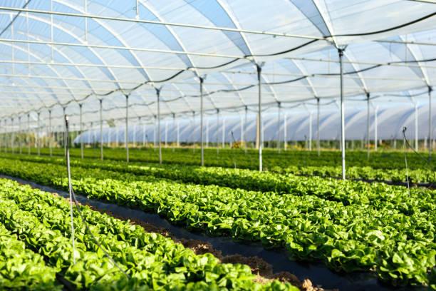 Plántulas de lechugas frescas orgánicas en invernadero - foto de stock