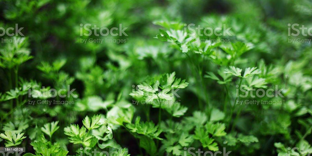 Fresh Organic Parsley royalty-free stock photo