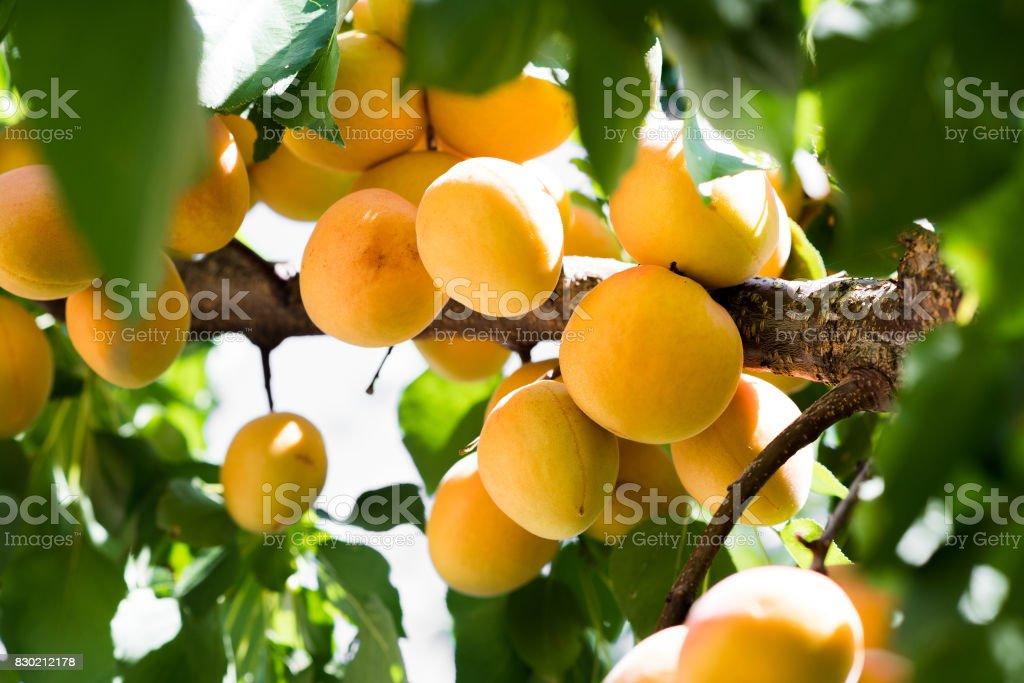 Abricots frais, biologiques, mûres sur la branche - Photo