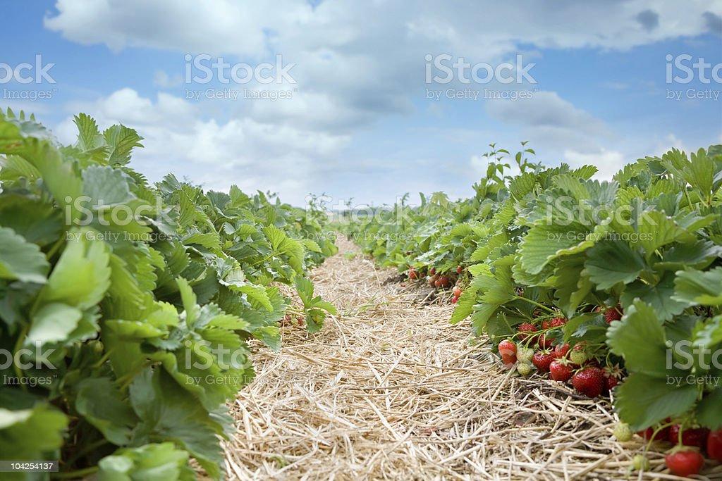 fresh organic strawberries growing on the vine stock photo