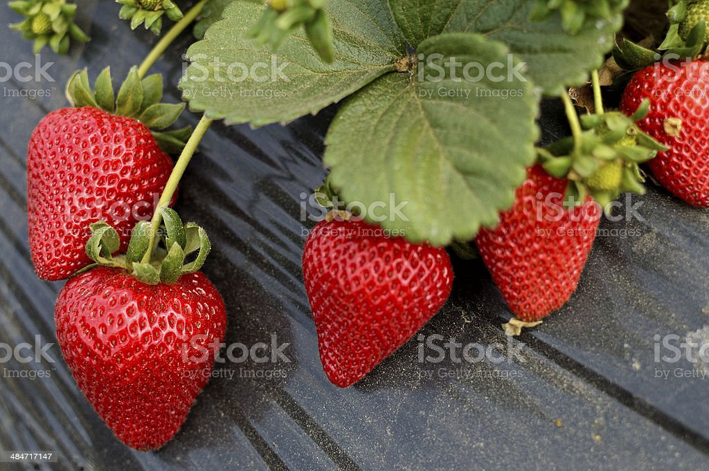fresh organic strawberries stock photo
