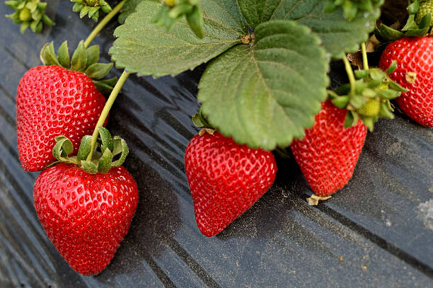 fresh organic strawberries Fresh organic strawberries growing on the vine strawberry field stock pictures, royalty-free photos & images