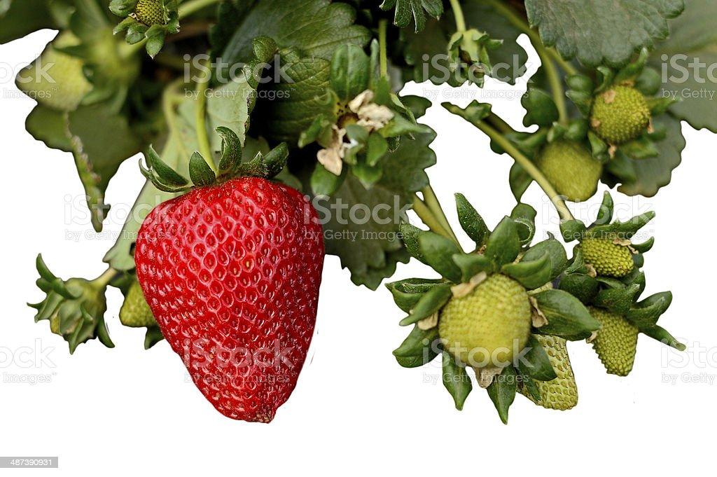 fresh organic strawberries stock photo