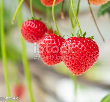Ripening strawberries in a horticulture company, close-up