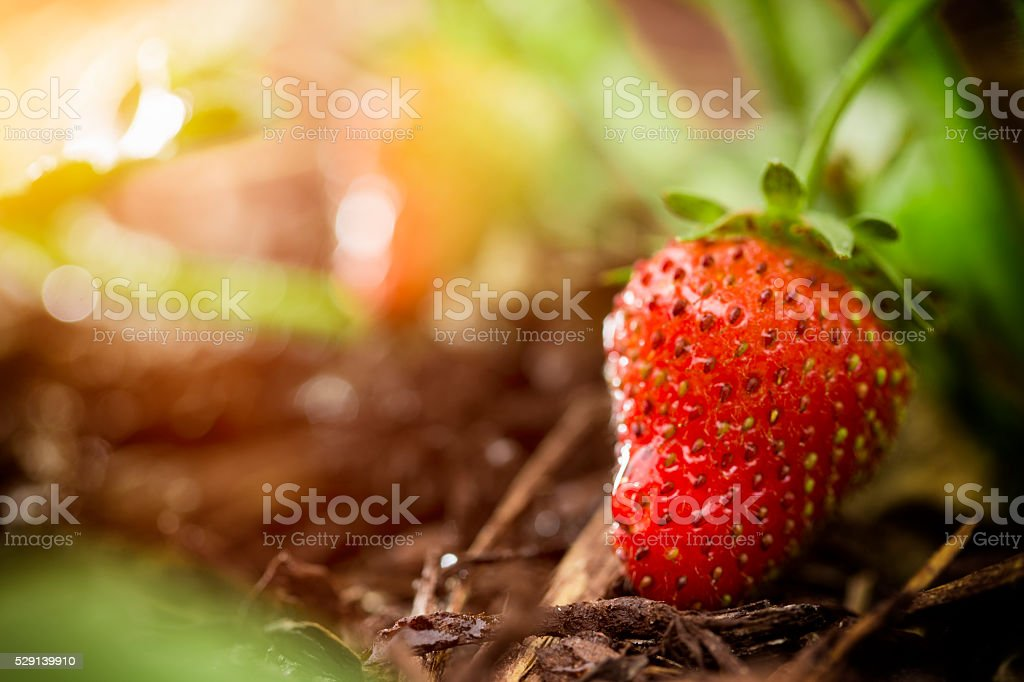 Fresh Organic Strawberry Farm stock photo
