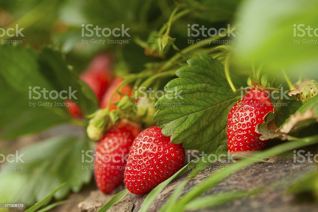 Fresh organic strawberry stock photo