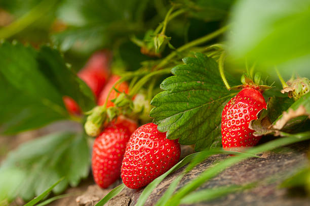 fresh organic strawberry - aardbei stockfoto's en -beelden