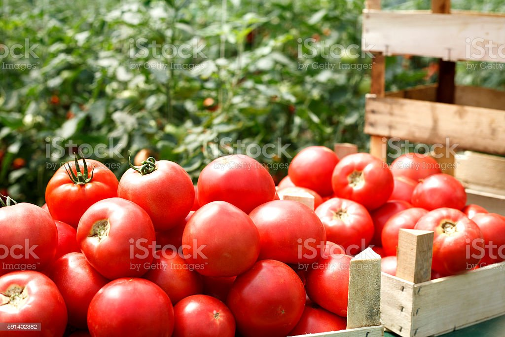 fresh organic tomatoes in a crate stock photo