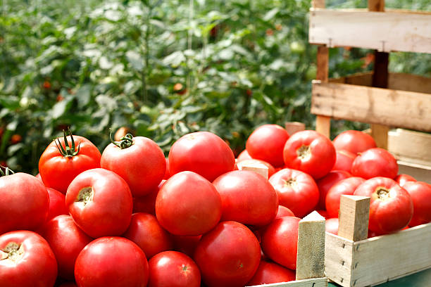 fresh organic tomatoes in a crate - tomato field stock photos and pictures