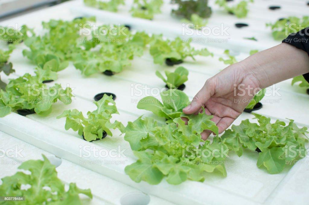 Fresh organic vegetables in the garden. stock photo