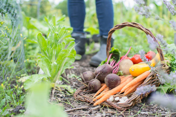 Fresh organic vegetables in trug basket on allotment. An assortment of freshly picked organic vegetables in a trug basket on an idyllic English allotment with person wearing boots in background. community garden stock pictures, royalty-free photos & images