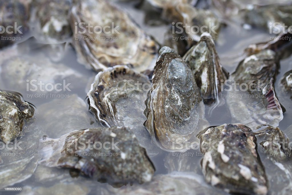 Fresh Oysters Closeup, Color Image royalty-free stock photo