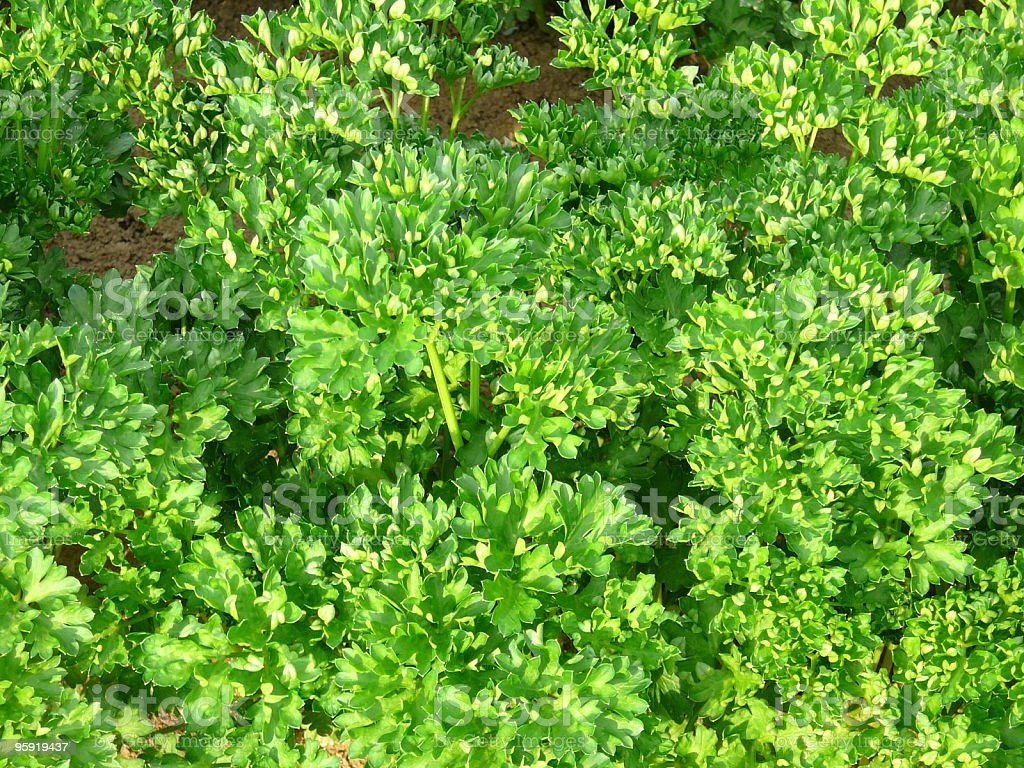 Fresh parsley in the garden royalty-free stock photo