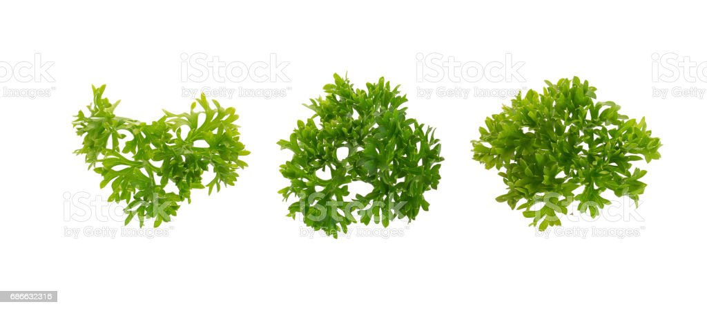 fresh parsley isolated on a white background. royalty-free stock photo